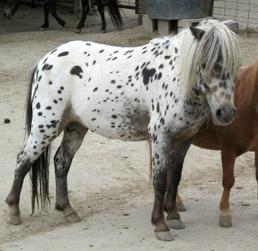 E L L A  Equine Learning and Literacy Advocates Mini horse