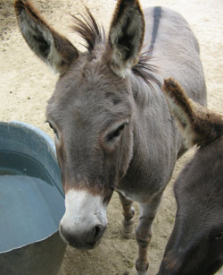 miniature donkey Gloria